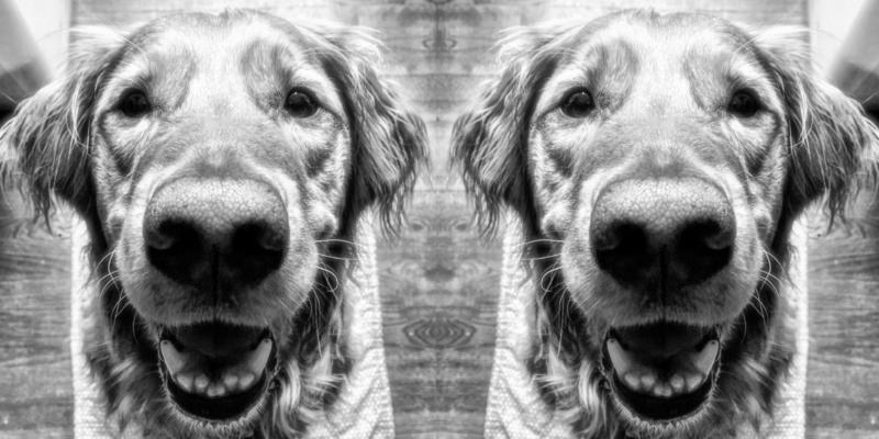 Mirrored black and white close up of Hero Dogs York