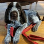 Hero Dogs HazelPuppy ProgramClick to Donate