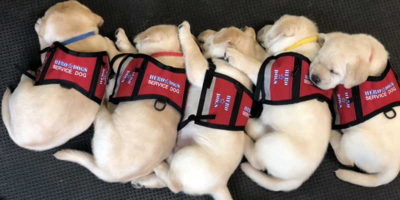 Service Dog Puppies