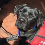 Hero Dogs MollyAdvanced TrainingClick to Donate