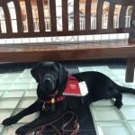 Hero Dogs RubyAdvanced TrainingClick to Donate